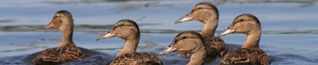 cropped-cropped-duck-416972_640.jpg